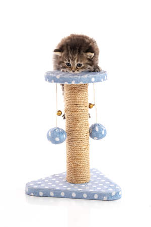 Cute tabby kitten playing on a cat tree, isolated on white Imagens