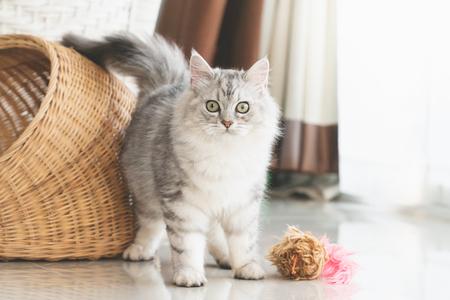 Süße Perserkatze, die zu Hause spielt