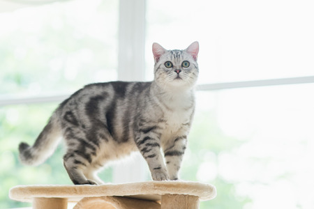Cute American short hair cat standing on cat tower