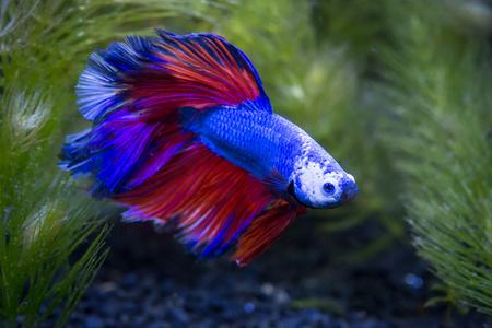 Nahaufnahme des blauen Halbmond-siamesischen kämpfenden Fisches in einem Aquarium
