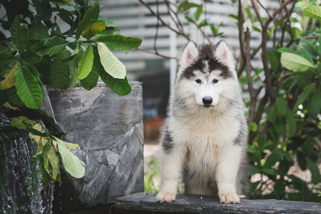 Cute siberian husky puppy playing in the garden Imagens