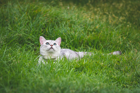 Close up of  silver cute cat looking up on green grass Imagens