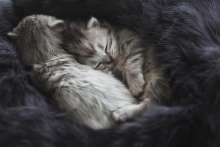 Cute kittens sleeping on black fur