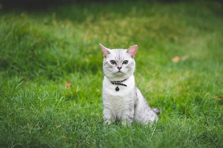 Nahaufnahme einer silbernen süßen Katze, die auf grünem Gras sitzt