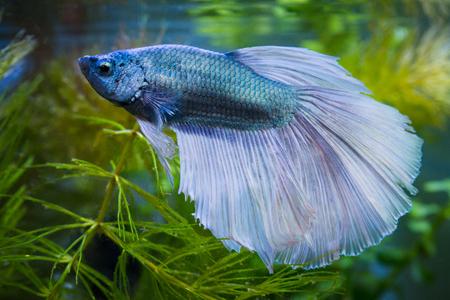Primo piano di un pesce combattente siamese a mezza luna metallico in un acquario
