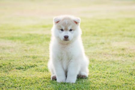 Cute siberian husky puppy on grass under sunlight