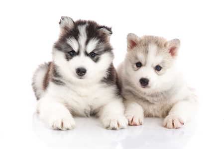 Cute Two siberian husky puppies on white background isolated