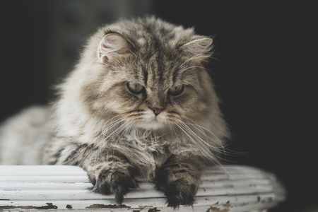 Cute Persian cat sitting on wood table Stock Photo