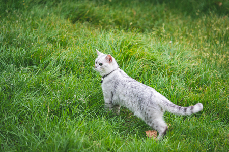 Close up of  silver cute cat on green grass