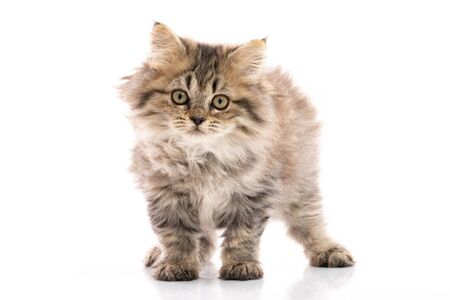 Tabby kitten cat standing and looking on white background, isolated