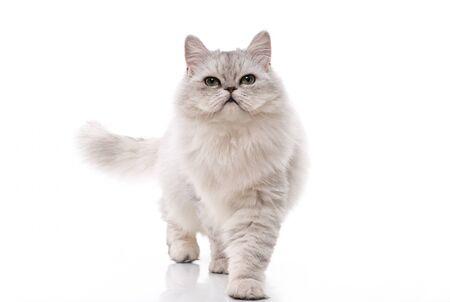 Persian cat walking on white background,isolated Stock Photo