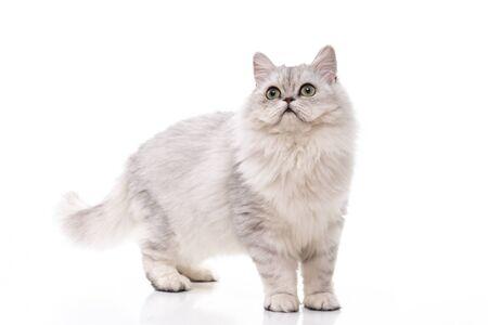 Persian cat walking on white background,isolated Standard-Bild