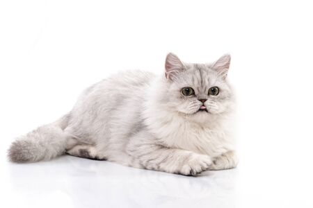 Persian cat Stick out tongue on white background,isolated Standard-Bild