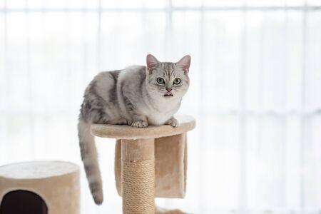 Cute American short hair cat lying on cat tower