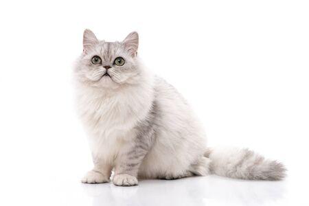 Persian cat sitting on white background,isolated Stock Photo