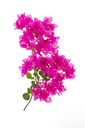 Pink blooming bougainvillea on white background isolated