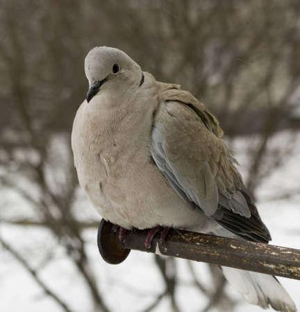 dove on the perch
