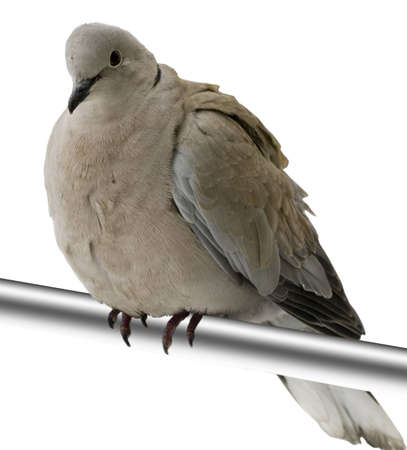 dove on the perch isolated on white