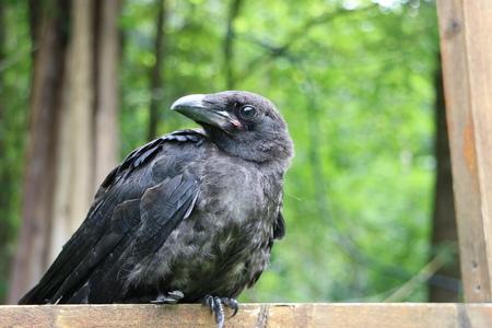 pecker: Black raven on the tree, closeup Stock Photo