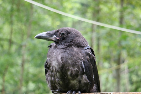Black raven on the tree, closeup Stock Photo