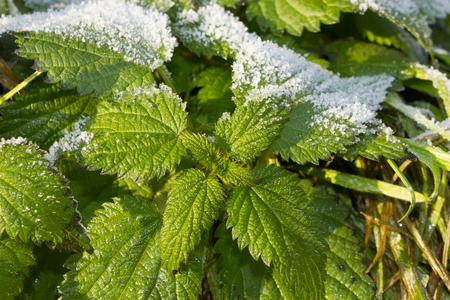 urtica: Ice crystals on frosted stinging nettle, Urtica dioica