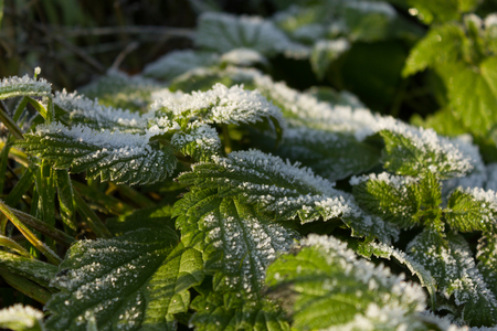 Ice crystals on frosted stinging nettle, Urtica dioica