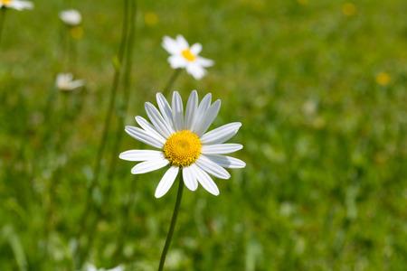 A macro shot of an oxeye daisy. Summer, Flower.