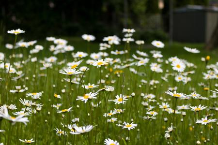 Nature of summer, flower fields, wild flower meadow, Oxeye Daisy, Alpine. Stock Photo