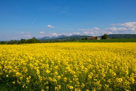 Rape meadow under blue sky in summer