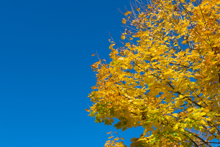 Autumn leaves against blue sky background. Golden Forest.