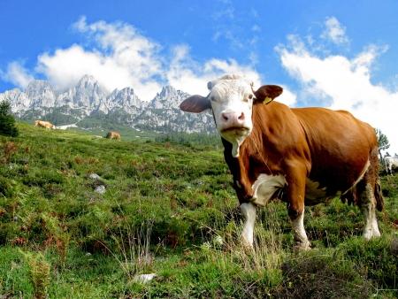 alpen: Alpenkuh