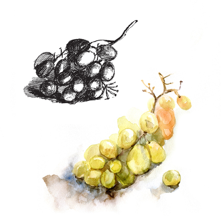 realism: Plucked grapes, grape watercolor and ink sketch realism Stock Photo