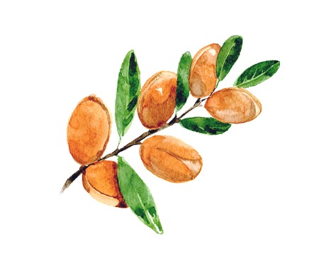 Branch of argan. Watercolor. Isolated. Stock Photo