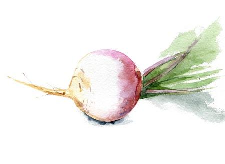 Navet frais avec des feuilles pour une saine santé . aquarelle saine. .vector illustration Banque d'images - 99270719