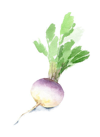 Fresh turnip with leaves for a healthy diet. Watercolor sketch. Isolated.