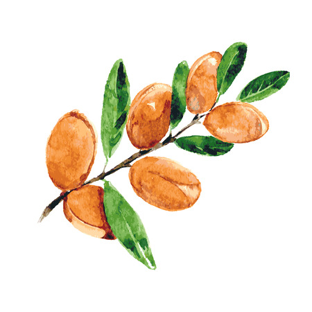 Branch of argan. Watercolor. Isolated. Illustration