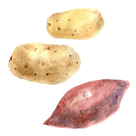 Yams and potato. Watercolor illustration Isolated on whte backround. vector Иллюстрация