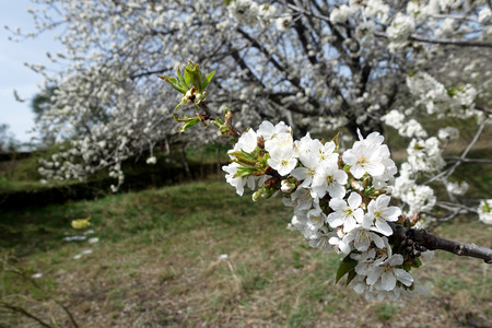 felicitation: Cherry branch in bloom Stock Photo