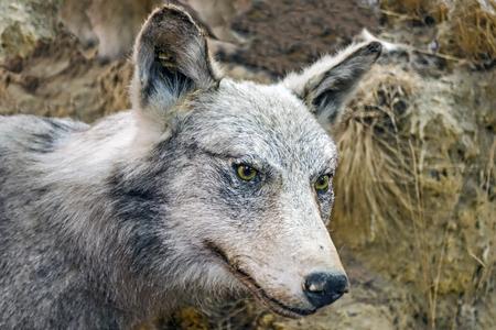 wolf eye 378 Stock Photo