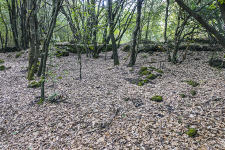 undergrowth, chestnut wood