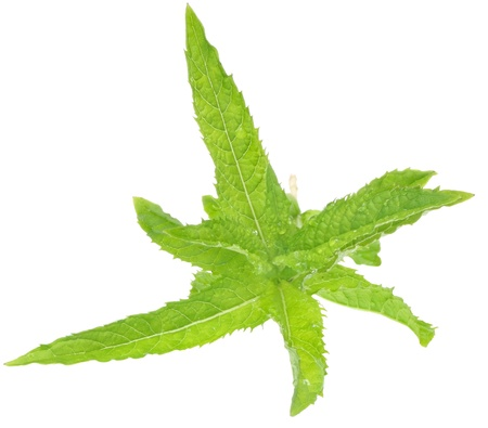 A sprig of mint on a white background photo