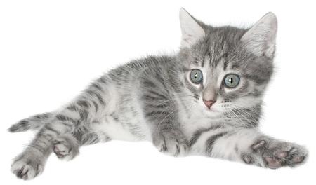 british kitten: British kitten on a white background. Stock Photo