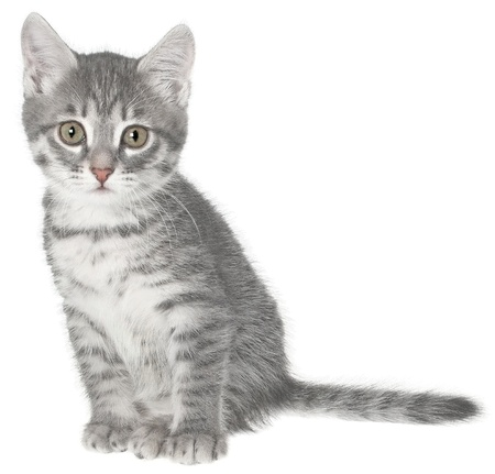 British kitten on a white background. Stock Photo