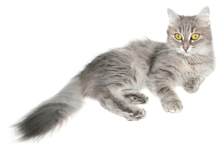 striated: Striated cat isolated.