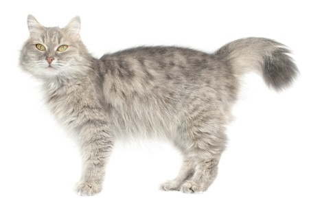 striated: Striated cat on a white background.