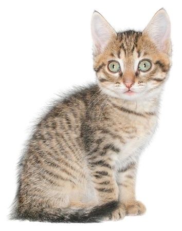 Small kitten on a white background. Stock Photo - 11541367