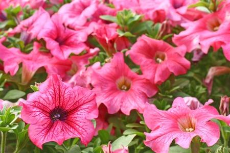 Pink petunias close  photo