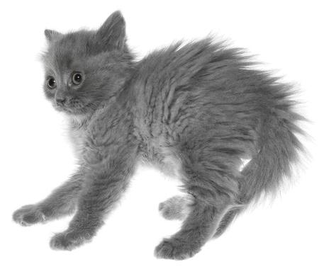 Frightened gray kitten isolated on white background. photo