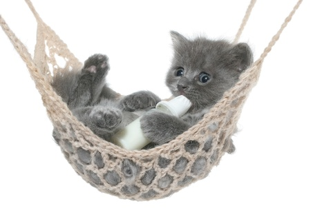 Cute gray kitten sucks milk bottle in a hammock on a white background. photo