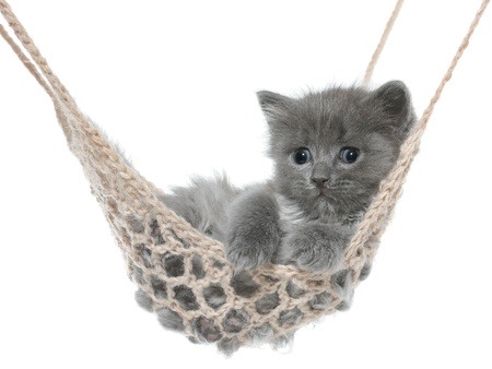Cute gray kitten in hammock on a white background.